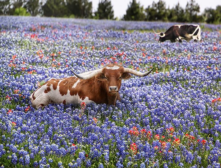 blue-bonnet-longhorn